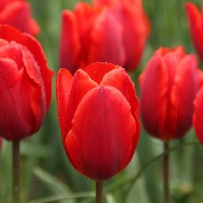 Tulipa 'Couleur Cardinal' - Triumph tulipán