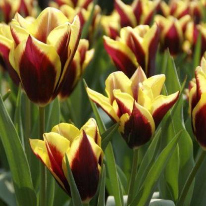 Tulipa 'Gavota' - Triumph tulipán