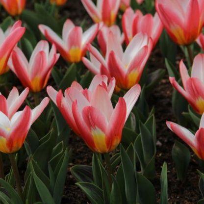 Tulipa Heart's Delight Kaufmanniana tulipán