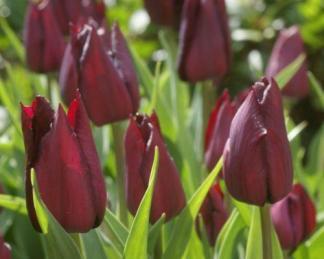 Tulipa 'Indeland' - Triumph tulipán