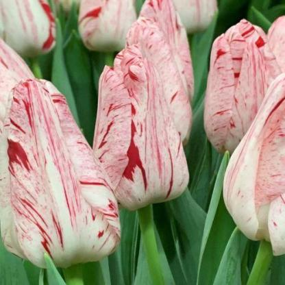 Tulipa 'Merel Delight' - Triumph tulipán