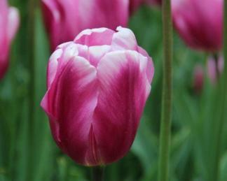 Tulipa Mistress Triumph tulipán