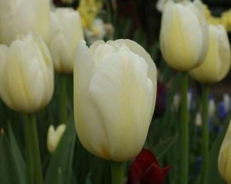 Tulipa 'Pays Bas' - Triumph tulipán