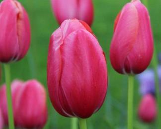 Tulipa 'Renown' - Triumph tulipán