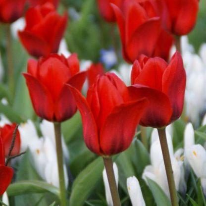 Tulipa Showwinner Kaufmanniana tulipán