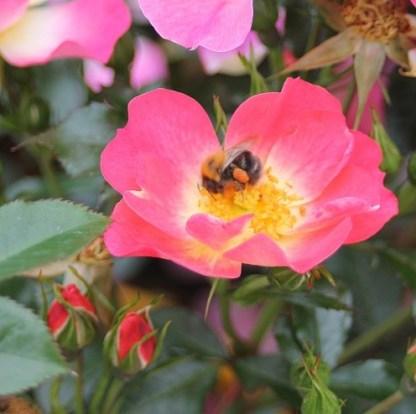 Bienenweide-bicolor miniatűr rózsa