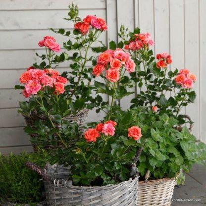 Mandarin miniatűr floribunda ágyás rózsa