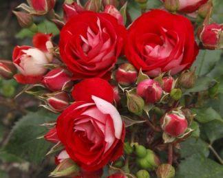Rosige_Landdrostei flloribunda ágyás rózsa