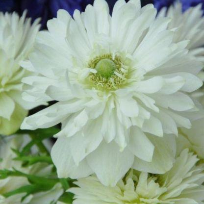 anemone-coronaria-mount-everest-koronás-szellőrózsa
