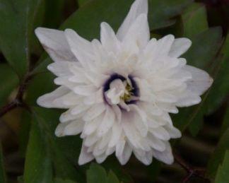 anemone-nemorosa-blue-eyes-berki-szellőrózsa