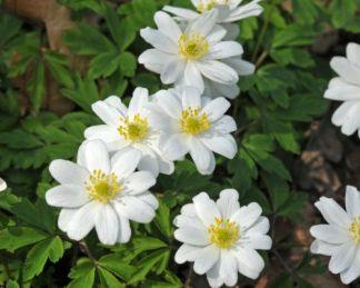 anemone-nemorosa-hilda-berki-szellőrózsa