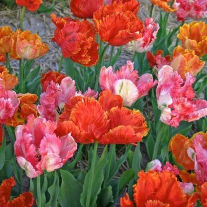 Apricot Parrot, Flower Power és Professor Röntgen- papagáj tulipán válogatás