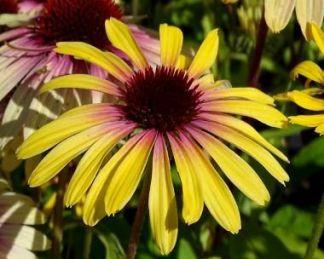 echinacea-rainbow-yellow-kasvirag
