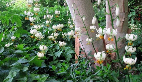 fehér martagon liliom