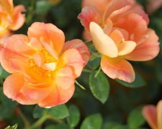 Bienenweide-Apricot miniatűr rózsa