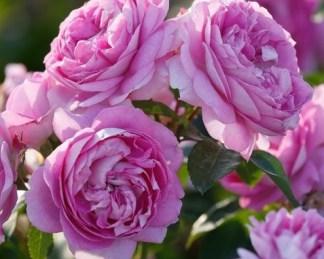 Lilac-Topaz ágyás rózsa