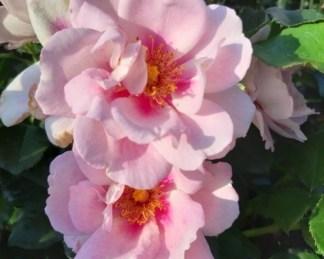 Orienta Magnolia bokorrózsa