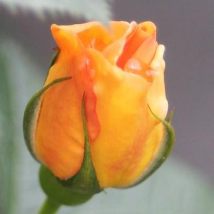 Maigold vadrózsa