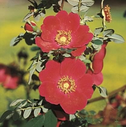 rosa-moyesii vadrózsa