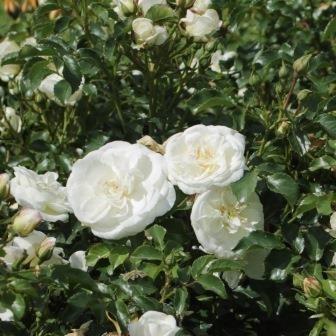 Bounty talajtakaró rózsa