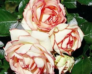 biedermeier miniatűr rózsa