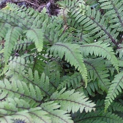 Athyrium-otophorum-Okanum páfrány