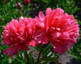 Paeonia lactiflora 'Lorelei' - lágyszárú bazsarózsa