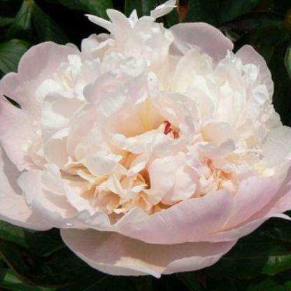 Paeonia lactiflora 'Madame Calot' - lágyszárú bazsarózsa