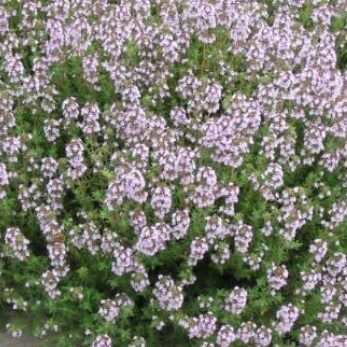 Thymus_vulgaris-compactus-kerti-kakukkfu2
