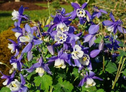 "Aquilegia caerulea 'Spring Magic Navy and White' - harangláb 1 <strong>Aquilegia caerulea 'Spring Magic Navy and White' - harangláb</strong> 40 cm magas, kék-fehér kétszínű virágok, ezüstös zöld lomb. <ul>  <li><em><span lang=""HU"">Kiszerelés: 9 cm-es ültetőedényben</span></em></li>  <li><em><span lang=""HU"">Rendelhető mennyiség: minimum 3 db</span></em></li> </ul> <em></em>"
