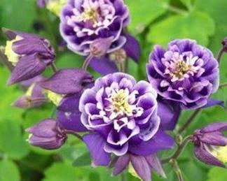 aquilegia-vulgaris-winky-blue-and-white-haranglab