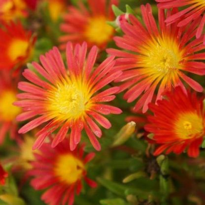 delosperma-wheels-of-wonder-fire-wonder-delvirag