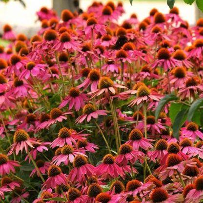 echinacea-purpurea-powwow-wild-berry-kasvirag