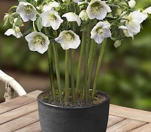 helleborus-king-white-hunyor