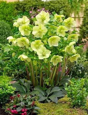 helleborus-king-yellow-hunyor