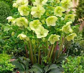 helleborus-king-yellow-hunyor