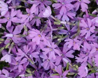 phlox-subulata-purple-beauty-arlevelu-langvirag
