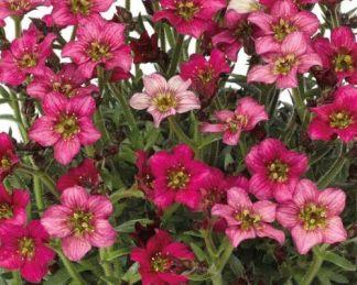 saxifraga-arendsii-alpino-deep-rose kőtörőfű