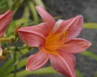 Hemerocallis Bed of Roses-sásliliom