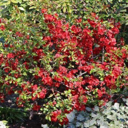 chaenomeles-japonica-elly-mossel-japan-diszbirs