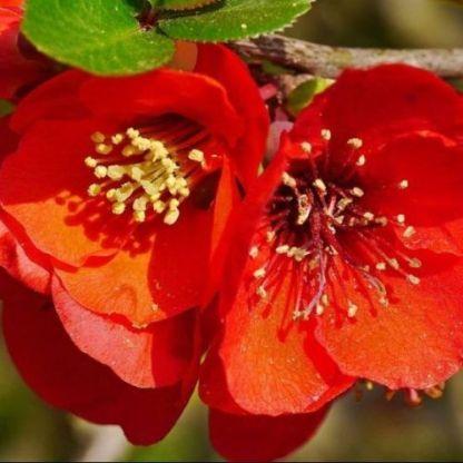 chaenomeles-japonica-elly-mossel japán diszbirs virága