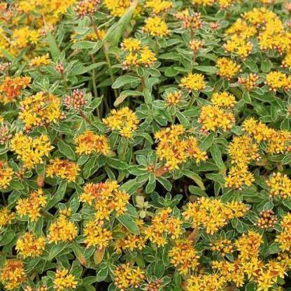 sedum-kamschaticum-variegatum-kamcsatkai-varjuhaj