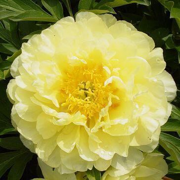 Paeonia Itoh 'Smith Family Yellow' - Itoh bazsarózsa hibrid