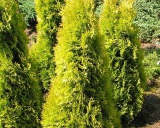 thuja-occidentalis-jantar-nyugati-tuja