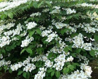 viburnum-plicatum-watanabe-érdeslevelű-bangita