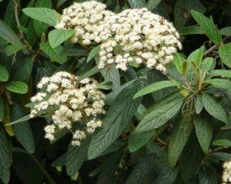 viburnum-rhytidophylloides-willowwood-ráncoslevelű-bangita