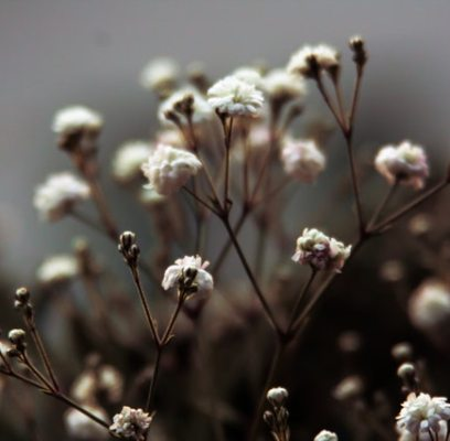 Baby's Breath – Growing from Seed