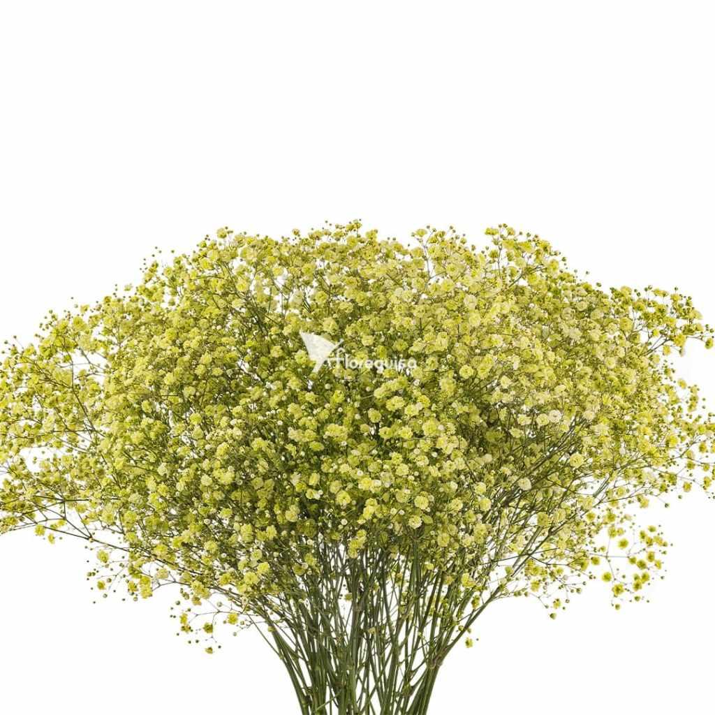 Green Neon Gypsophila by Florequisa Flower Growers