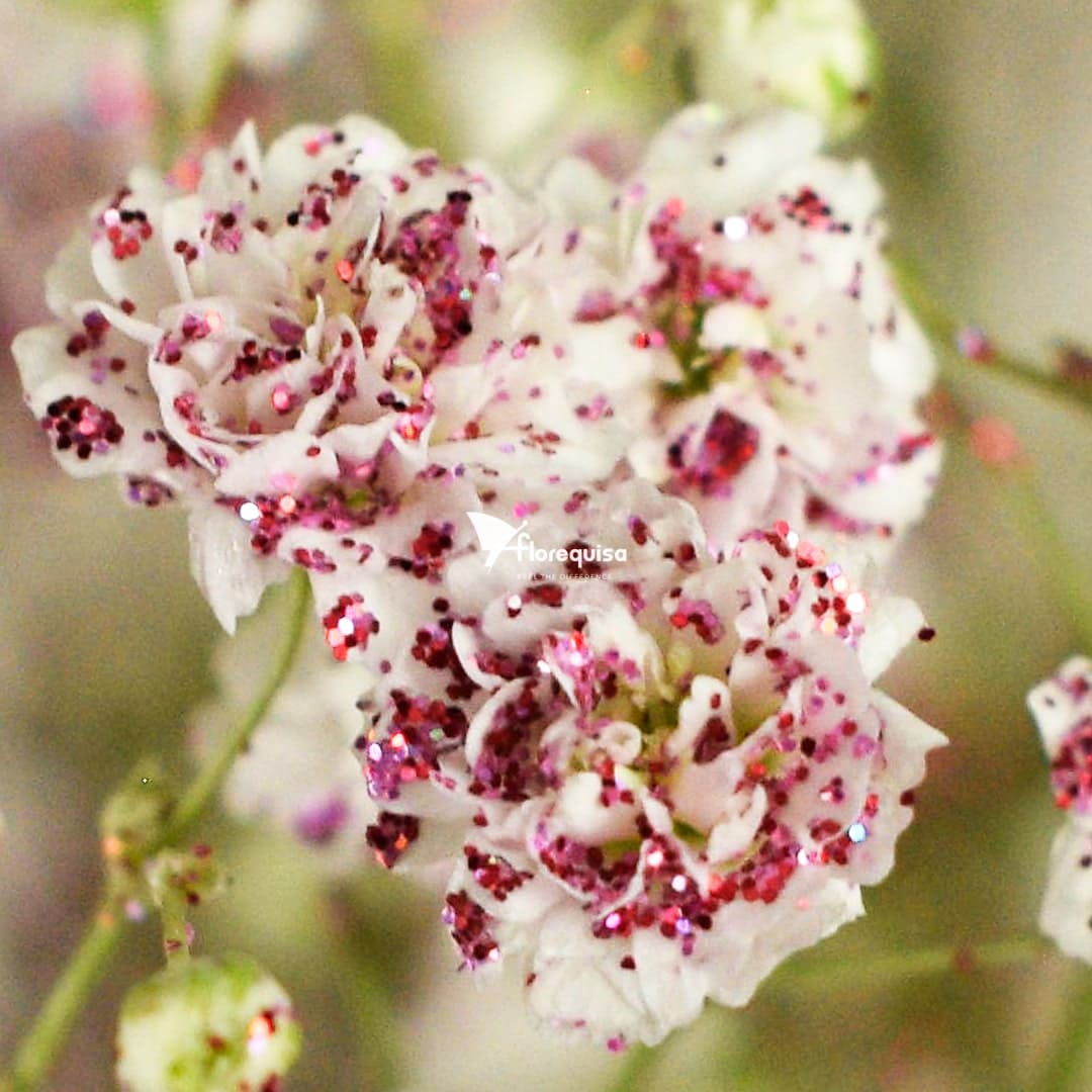 Gypsophila Glittered Pink by Florequisa Flower Growers