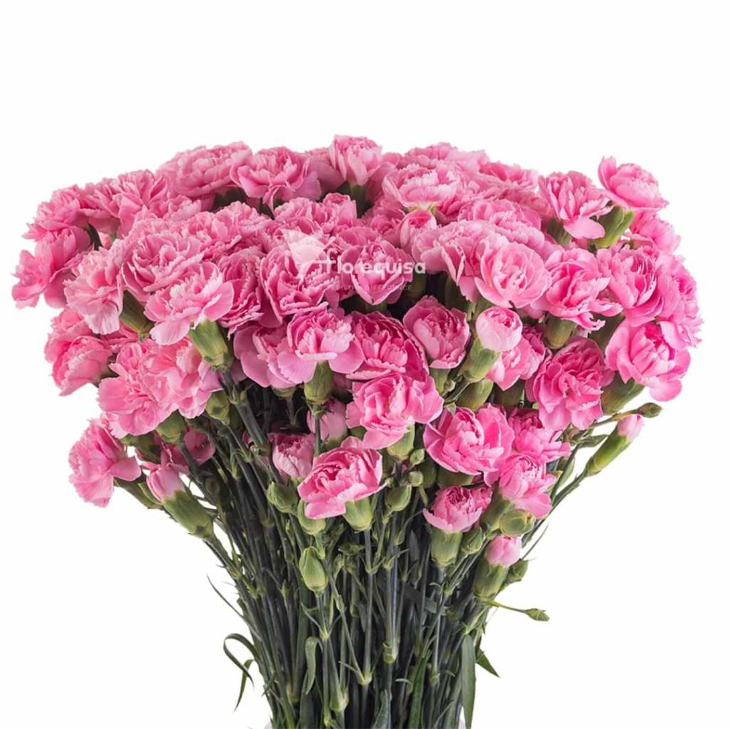 Pink Pigeon Spray Carnation by Florequisa
